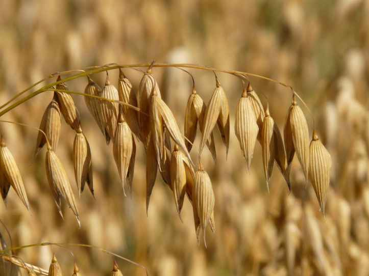 field agriculture harvest cereals